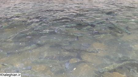پرورش ماهی قزل آلا پشت سد سلیمان تنگه